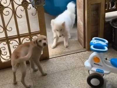 萨摩耶犬智商 萨摩耶的智商令人堪忧啊